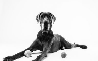 Cocha The Blue Great Dane..